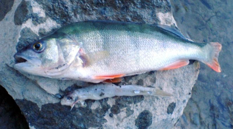 Geschichten for Fisch barsch
